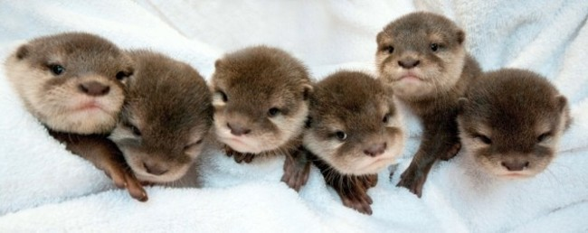Cutest Otters