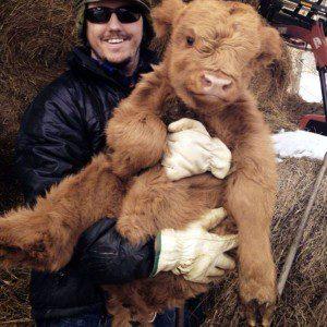 01-highland-calf-cute