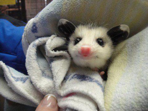 03-opossum-blanket