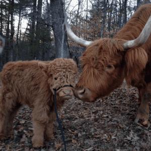 04-highland-calf-cute-1024x1019