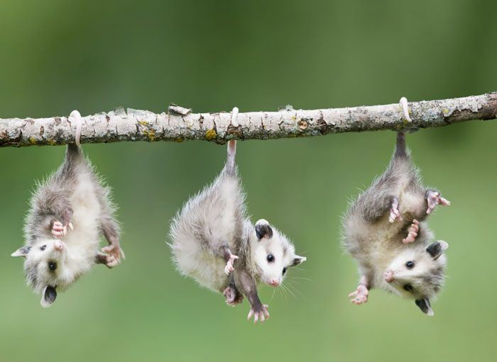 04-opossums-hanging