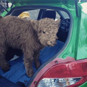 05-highland-calf-cute-1024x1024