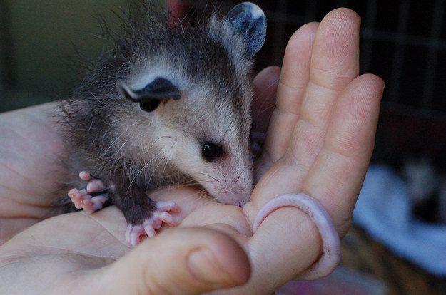 05-opossum-in-hand