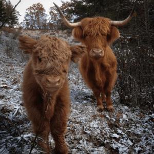06-highland-calf-cute-1022x1024