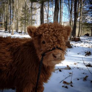 07-highland-calf-cute-1024x1022