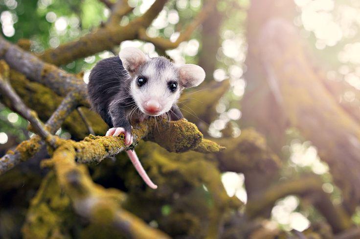 07-opossum-tree