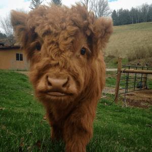 10-highland-calf
