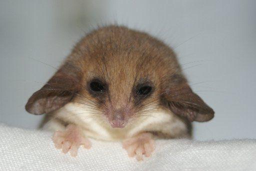 13-pygmy-opossum