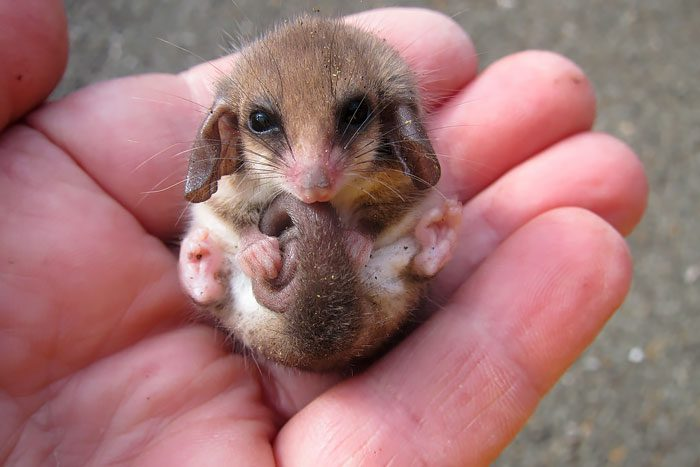 14-pygmy-opossum-hand