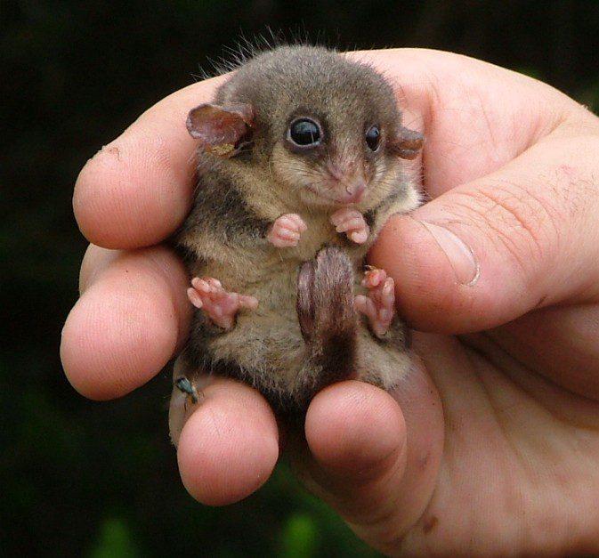 14a-baby-pygmy-opossum