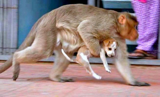 2-monkey-adopts-puppy