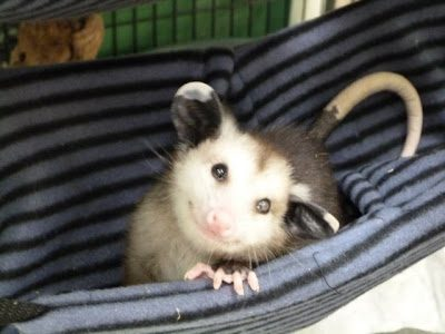 20-opossum-best-friend