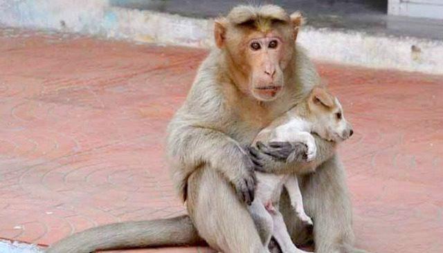 4-monkey adopts-puppy