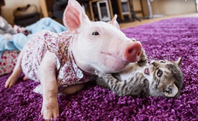 pig kitten