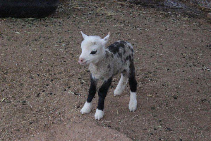 sheep-and-goat-hybrid-1