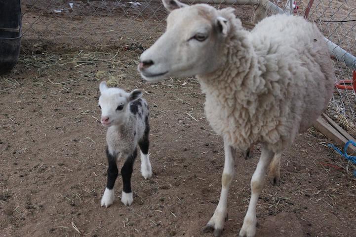 sheep-and-goat-hybrid-3