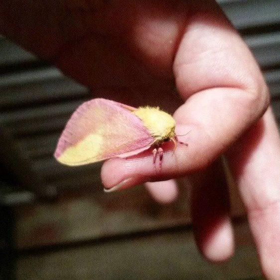 02-rosy-maple-moth