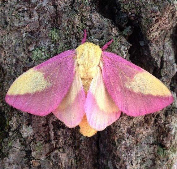 04-rosy-maple-moth