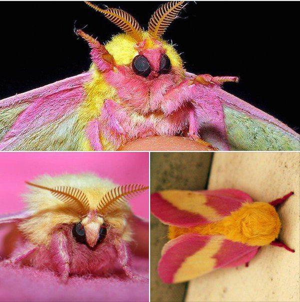 06-rosy-maple-moth