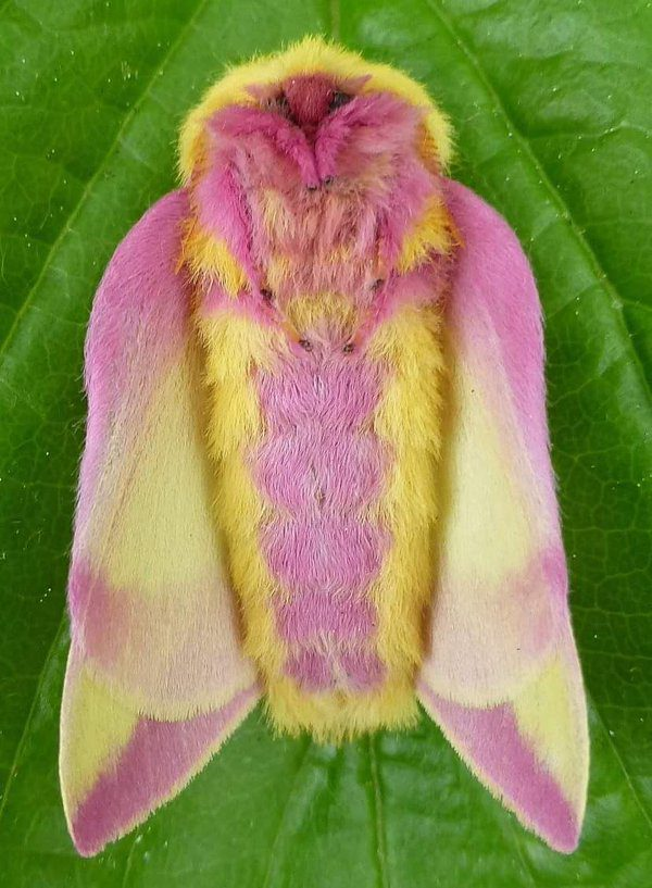 07-rosy-maple-moth