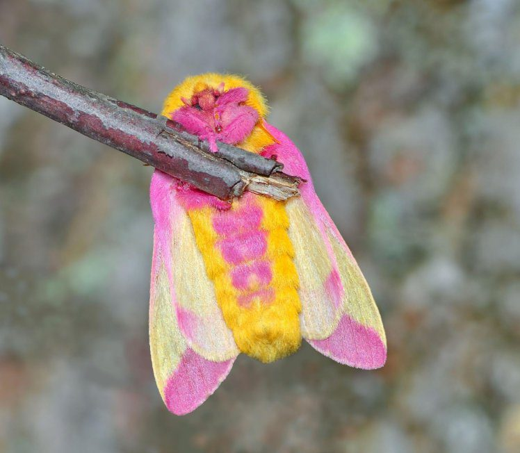 DM56P5 Rosy Maple Moth (Dryocampa rubicunda). Image shot 2013. Exact date unknown.