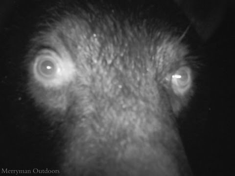 17-trail-cam-animals-funny-when-humans-arent-around