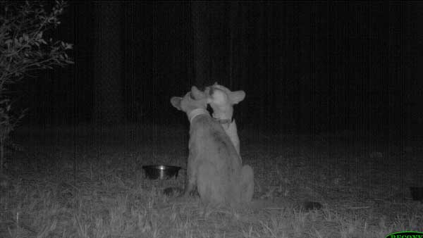 20-trail-cam-animals-funny-when-humans-arent-around