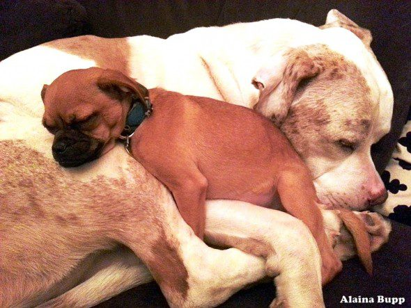 3.26.16-Big-Ol'-Mush-of-a-Dog-Gives-Cuddles-to-Scared-Shelter-Animals1-590x443