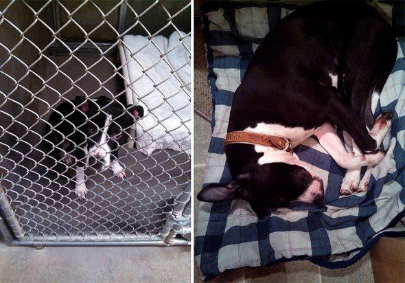 3.26.16-Shelter-Dogs-Before-and-After15-590x412