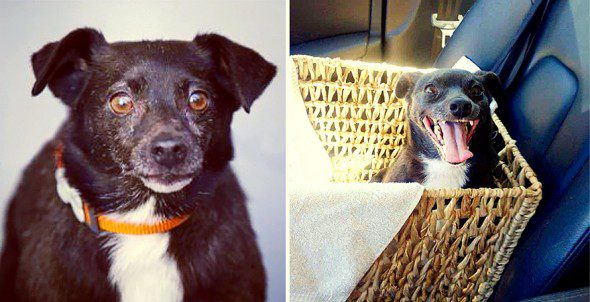 3.26.16-Shelter-Dogs-Before-and-After19-590x302 (1)