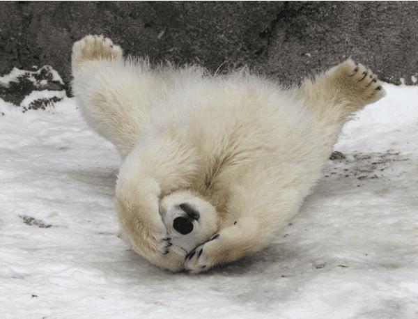 baby polar bears5