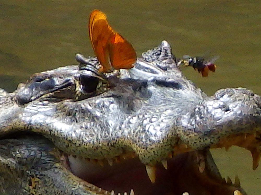 croc-butterfly