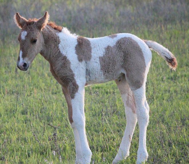 curly hair horse
