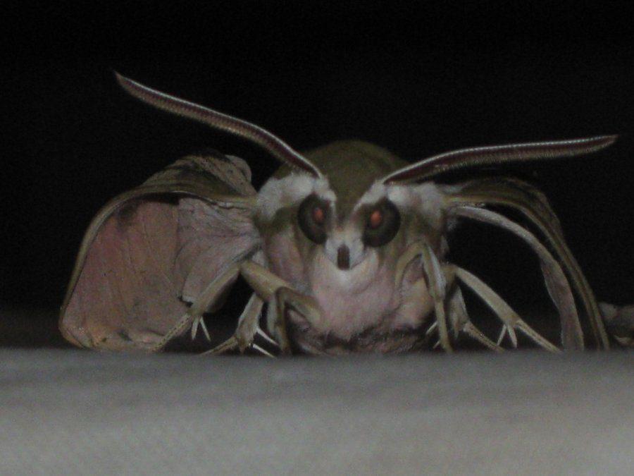 vampire-moth