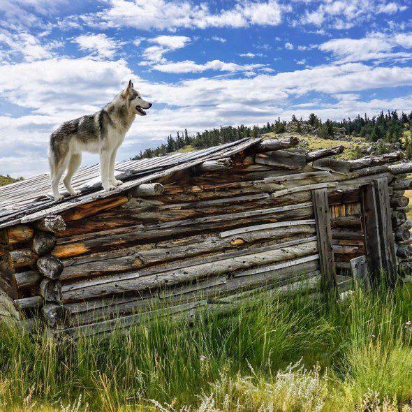 4.10.16-Loki-the-Wolfdogs-Adventures10-590x590