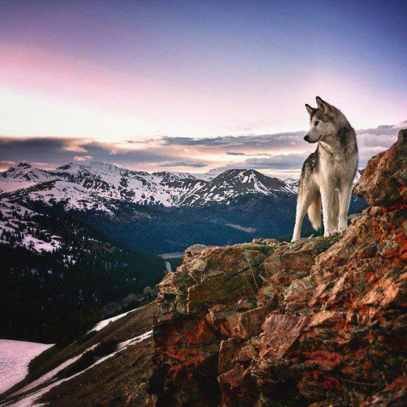4.10.16-Loki-the-Wolfdogs-Adventures16-590x590