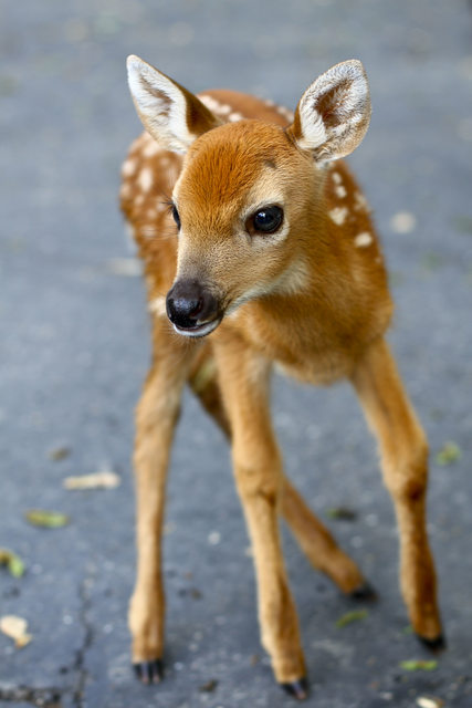 Adorable fawns