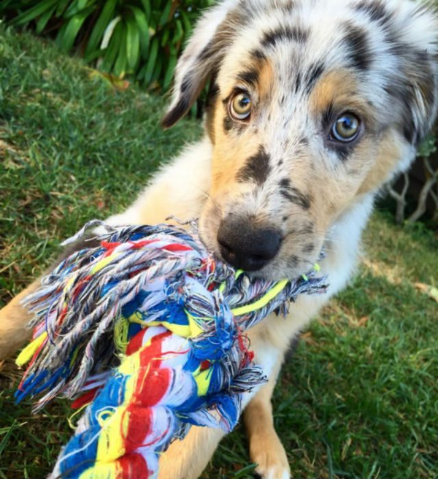 aussie-with-a-toy