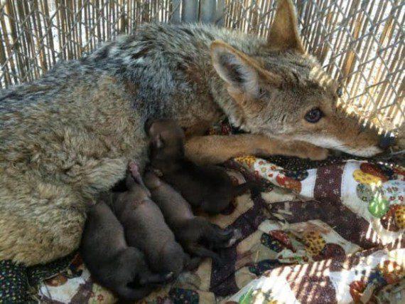 coyote3-570x427