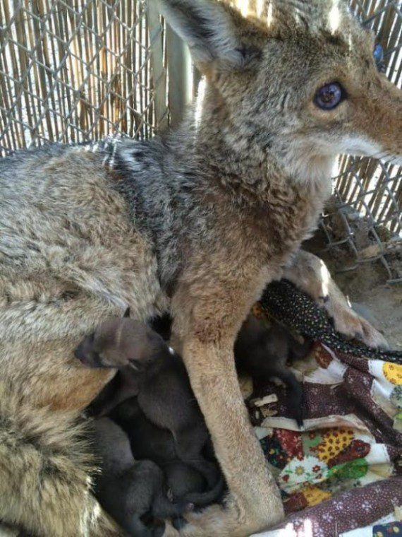coyote6-570x760