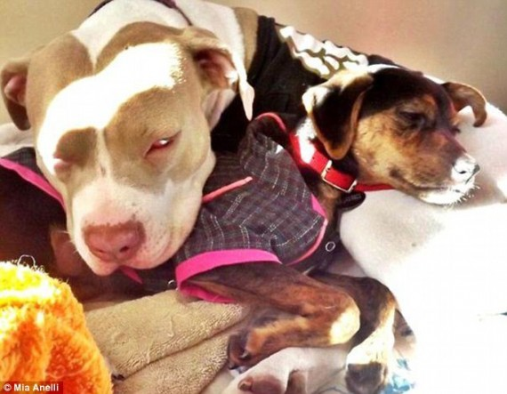 pit bull foster home