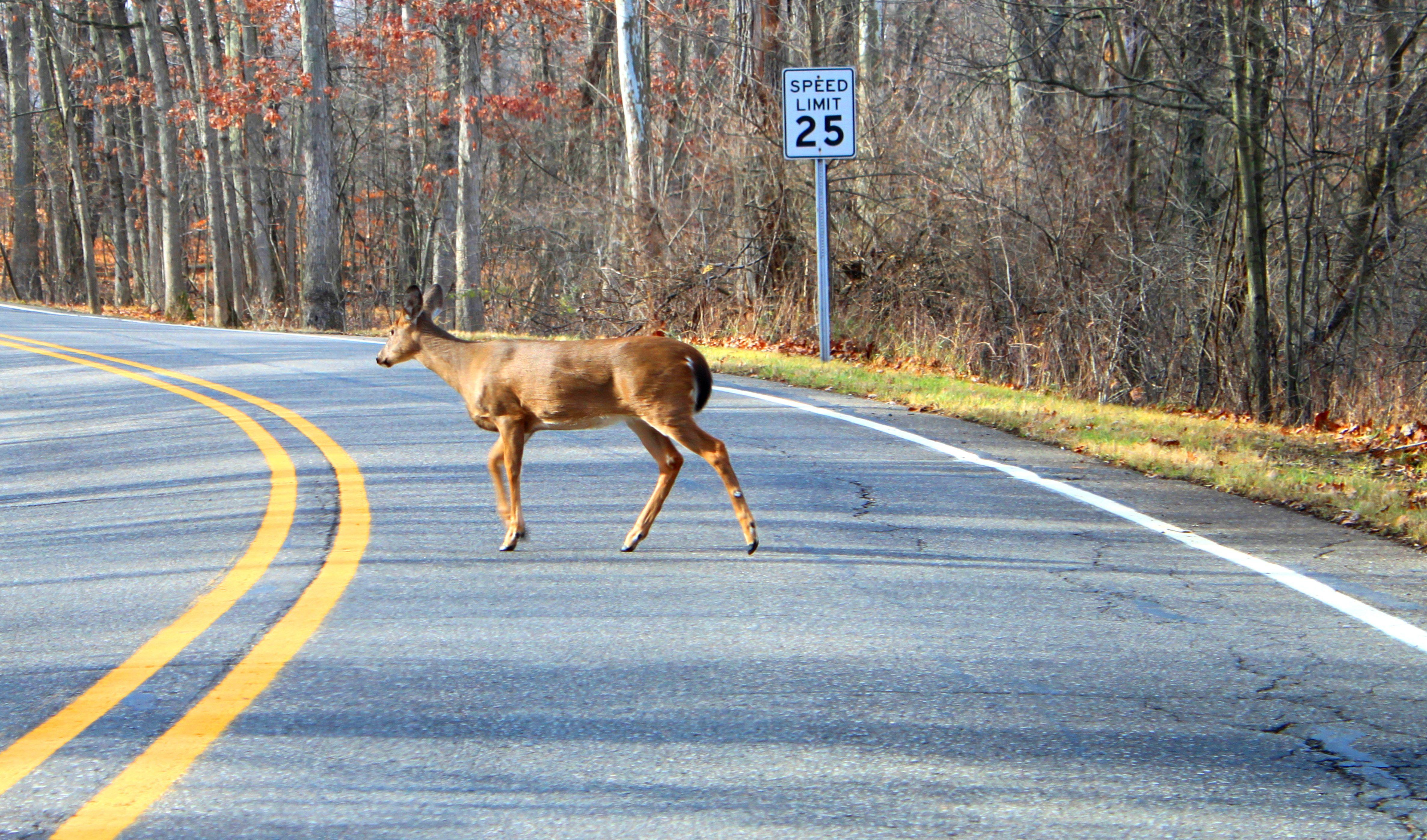 deer-accident-1