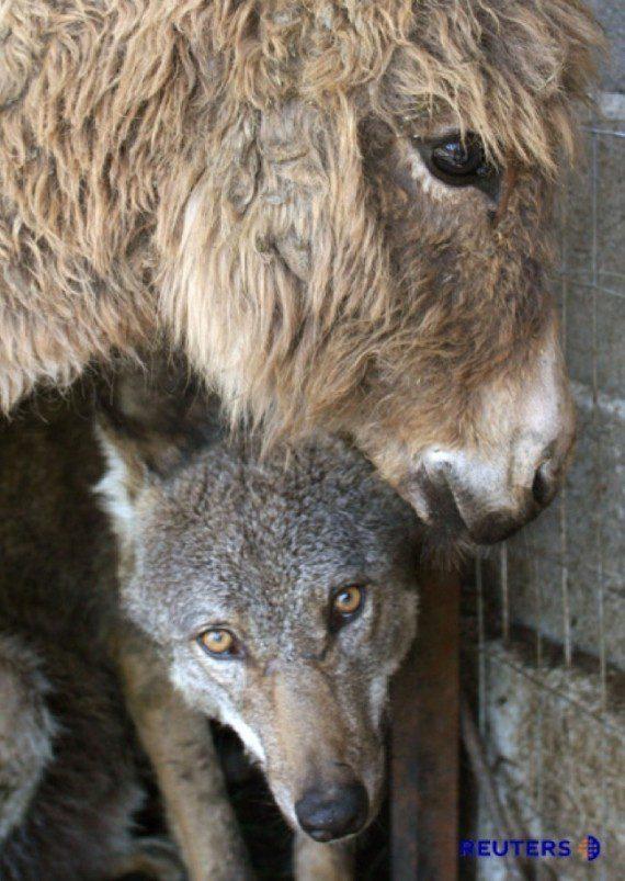 donkeywolf3-570x803