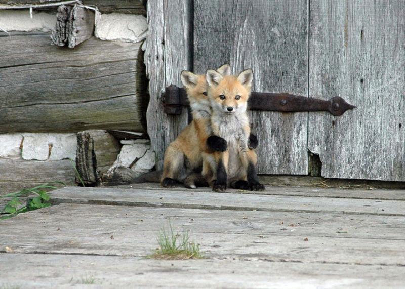Baby-Fox1