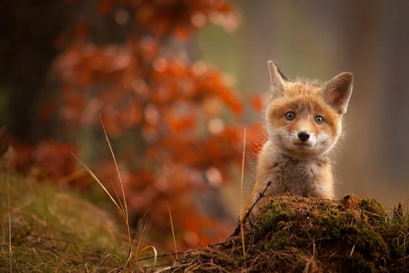 Baby-Fox11
