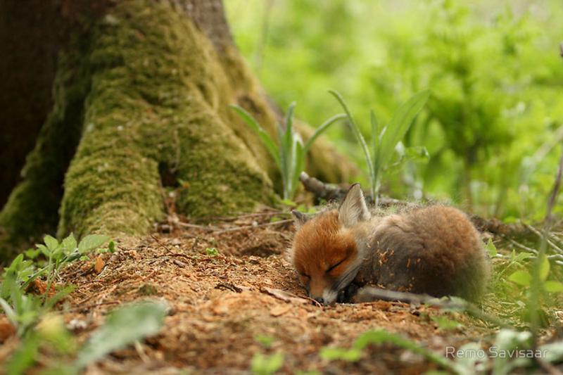 Baby-Fox2