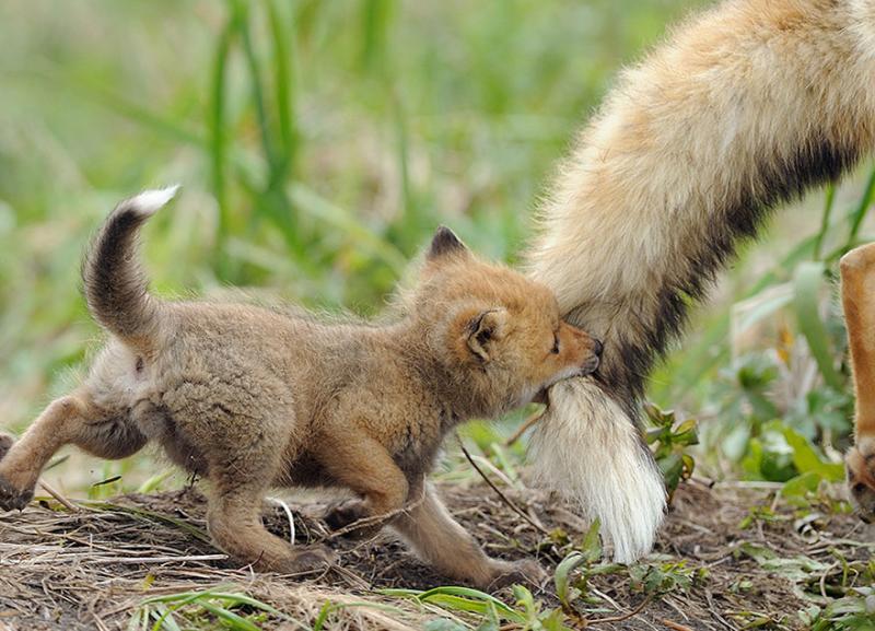 Baby-Fox3