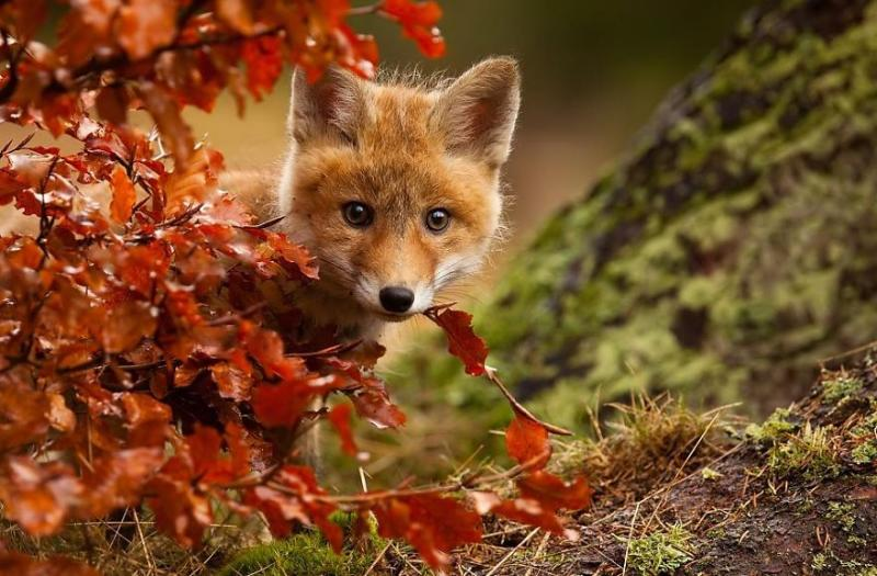 Baby-Fox5