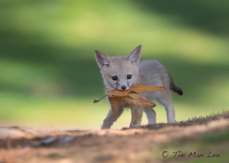 Baby-Fox8