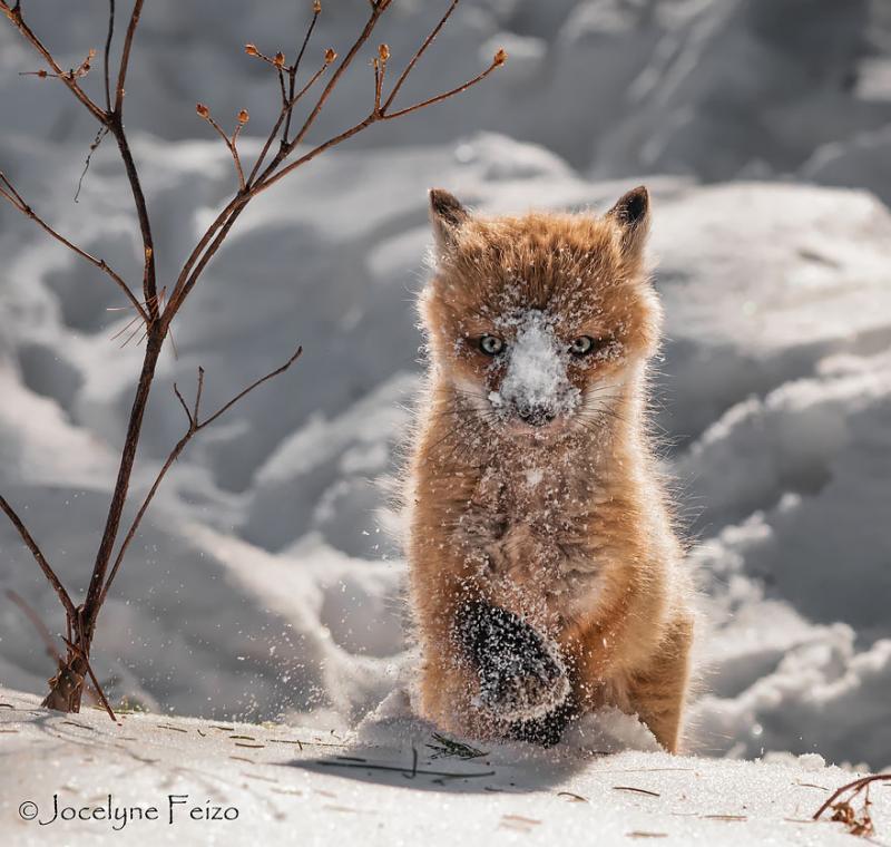 Baby-Fox9
